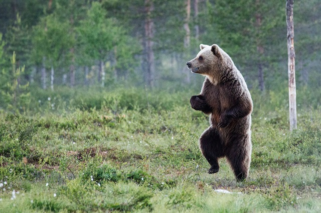 Chú gấu hăm hở.