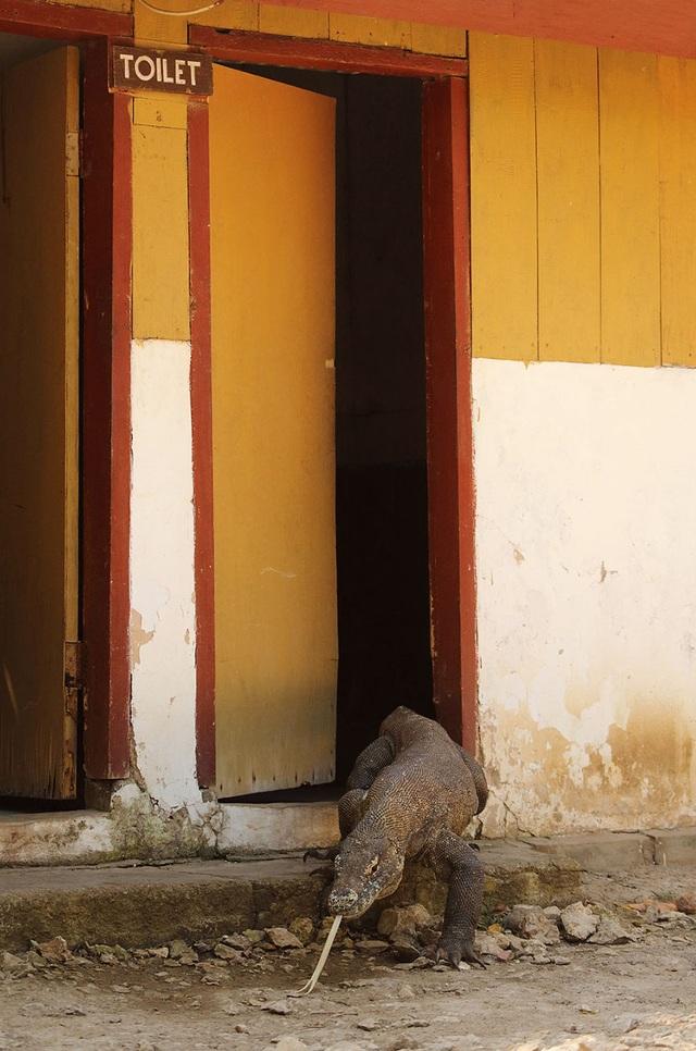 Rồng Komodo đi… vệ sinh.