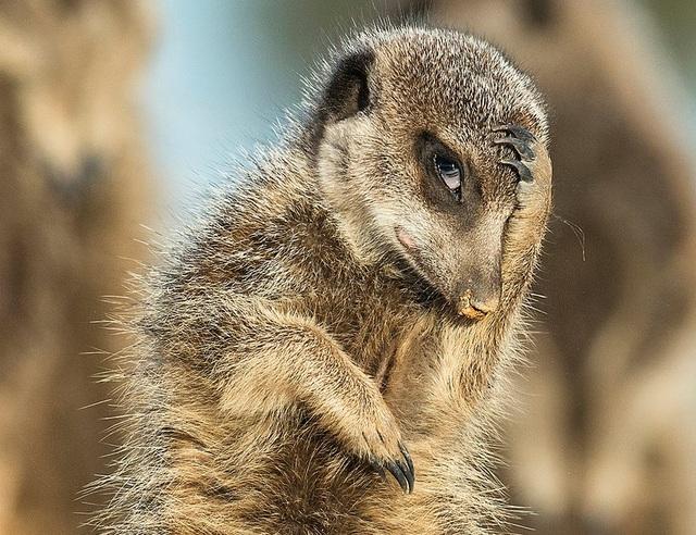 Một chú chồn đất trông như thể đang ôm đầu suy tư. Ảnh được chụp bởi tay máy Brigitta Moser ở vùng bán hoang mạc Little Karoo, Nam Phi.