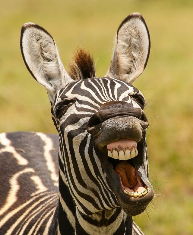 Ngựa vằn khoe răng.