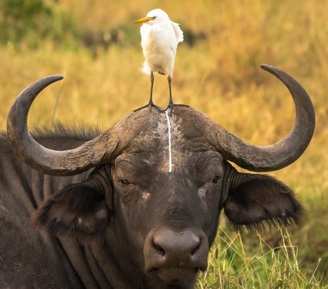 """Biểu cảm rất """"hoàn cảnh"""" của chú trâu rừng trong tình cảnh """"khốn khổ"""". Ảnh chụp ở công viên quốc gia Meru, Kenya, được thực hiện bởi tay máy Tom Stables."""