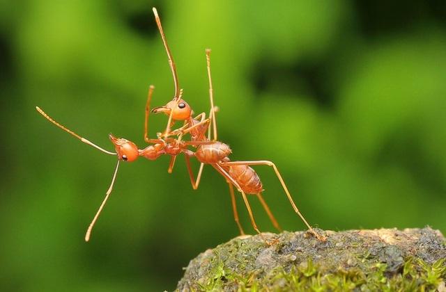 Hai chú kiến lửa như thể đang nhảy múa cùng nhau. Ảnh chụp ở Bata, Indonesia bởi tay máy Usman Priyona.
