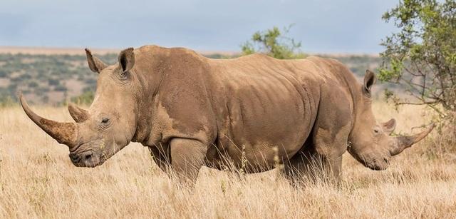 Hai chú tê giác trong tư thế lưng đối lưng, đây là cách mà loài tê giác hợp tác để cùng phòng thủ. Góc chụp khiến người xem ảnh những tưởng đây là một chú tê giác… hai đầu. Ảnh chụp bởi George Dian Balan ở Laikipia, Kenya.