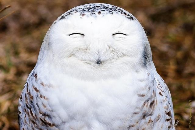 Một chú cú trắng trông như thể đang cười trong bức ảnh của tay máy Edward Kopeschny, chụp tại Ontario, Canada.