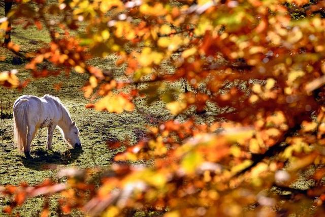 Một chú ngựa con đang gặm cỏ trong ngôi làng Strathyre ở Scotland.