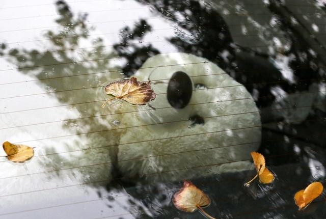 Những chiếc lá đậu lại trên kính xe hơi ở Minsk, Belarus.
