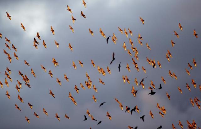 Đàn chim sáo đá bay trong trời chiều ở thị trấn Rakov, ngoại ô Minsk, Belarus.