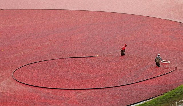 Thu hoạch việt quất ở Carver, bang Massachusetts, Mỹ.