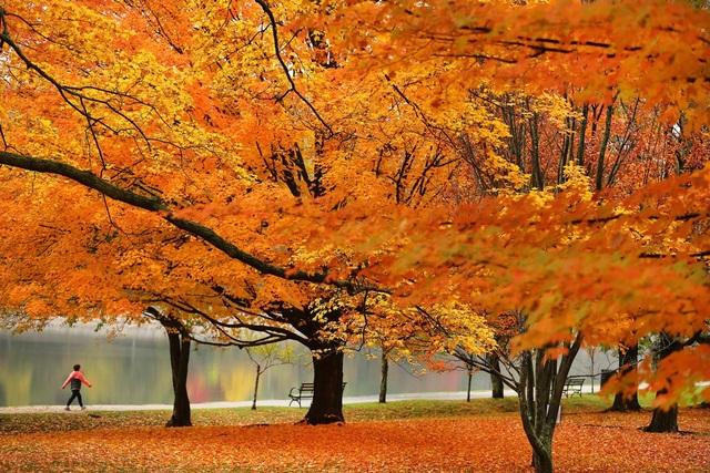Cây lá chuyển màu trong công viên Reservoir Park ở Brookline, bang Massachusetts, Mỹ.