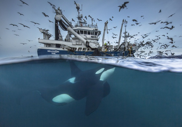 """Ở hạng mục """"Wildlife"""" (Thiên nhiên hoang dã), giải nhất thuộc về tay máy Audun Rikardsen (Na Uy). Vào mùa đông ở miền bắc Na Uy, những đàn cá trích đi di cư thu hút hàng trăm con cá voi và những thuyền đánh cá tập trung về các vịnh để săn mồi và bắt cá."""