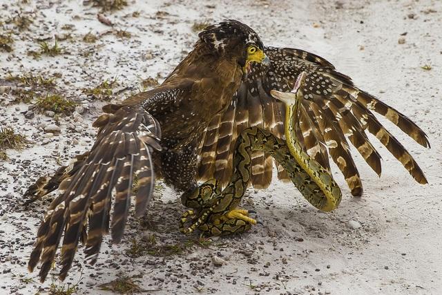 Giải nhì thuộc về tác phẩm của Antonius Andre Tjiu (Indonesia) chụp lại cuộc đấu tranh sinh tồn giữa một con đại bàng và một con rắn. Con rắn đang cuốn chặt chân con đại bàng để tự vệ.