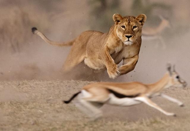 Giải ba thuộc về Pierluigi Rizzato (Ý) với khoảnh khắc chụp ở công viên quốc gia Serengeti của Tanzania, khi mặt trời sắp lặn, một con sư tử cái bắt đầu cuộc săn mồi.