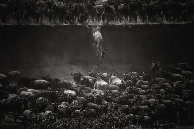 Đồng giải ba còn có tác phẩm của tay máy Nicole Cambré (Bỉ) chụp ở Tanzania ghi lại cảnh một đàn linh dương đầu bò vượt sông.