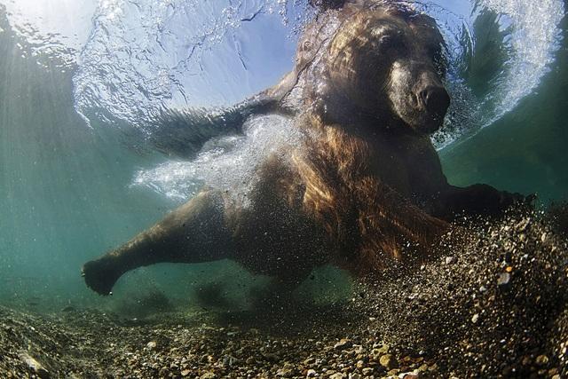 Giải nhì thuộc về tay máy Mike Korostelev (Nga) với bức ảnh chụp ở hồ Kuril, ghi lại cảnh một con gấu đang bắt cá trong hồ.