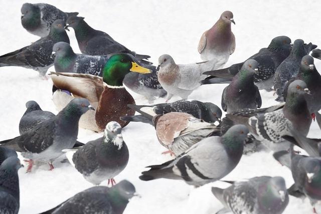 Những chú chim bồ câu vây quanh một chú vịt trong công viên ở Moscow, Nga.