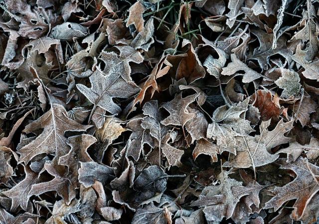Đống lá khô bọc trong sương giá buổi sớm ở thị trấn Milton, bang Massachusetts, Mỹ.