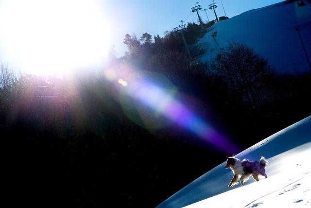 Một chú chó thích thú bước đi trên sườn núi Ettelsberg, Đức, được phủ tuyết nhân tạo.