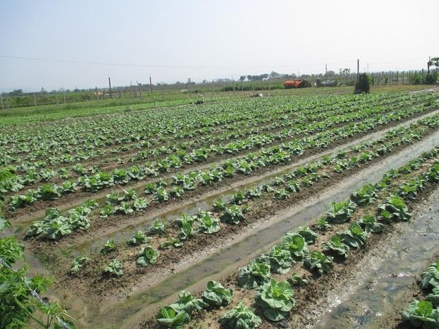 Mô hình trồng rau sạch của huyện Thiệu Hóa.