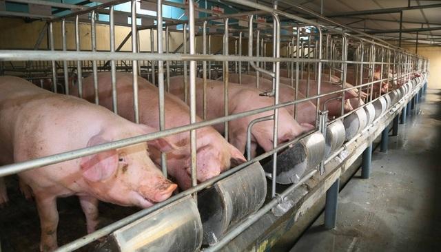 Cơ quan chức năng đang nghiên cứu để đưa chất Cysteamine vào danh mục cấm trong chăn nuôi (Ảnh minh họa internet).