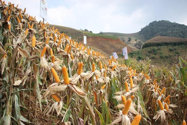 Ngô biến đổi gen đang dần thay thế giống ngô thường năng suất thấp tại tỉnh Sơn La.