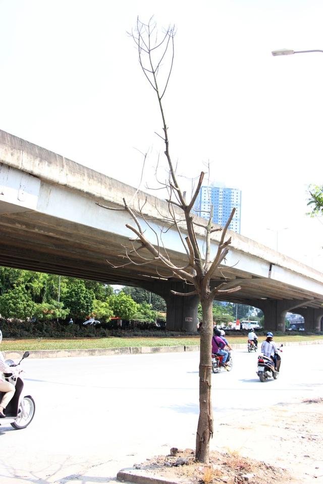 Cây chết khô trên vỉa hè đường Nguyễn Xiển.