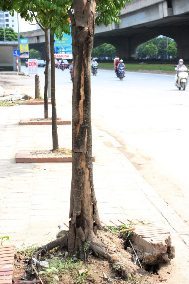 Vỏ cây chết bong tróc. Rễ cây bị bật lên khiến gạch lát phía trên cũng bị bung ra.