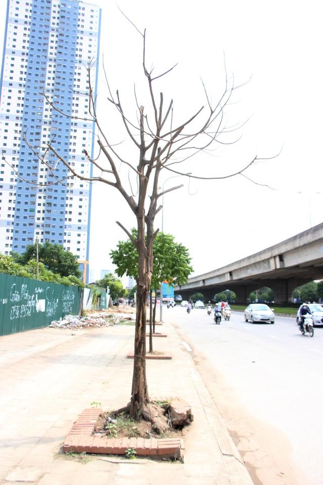 Hà Nội: Hàng cây xanh mới trồng đã chết khô - 2