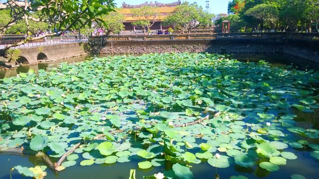 Giống sen trắng được phục hồi, trồng thành công ở Hồ Thái Dịch sau Ngọ Môn và được nhân rộng ra các hồ khác