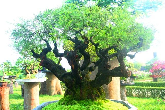 Một cây cảnh có dáng đẹp tại vườn Cơ Hạ