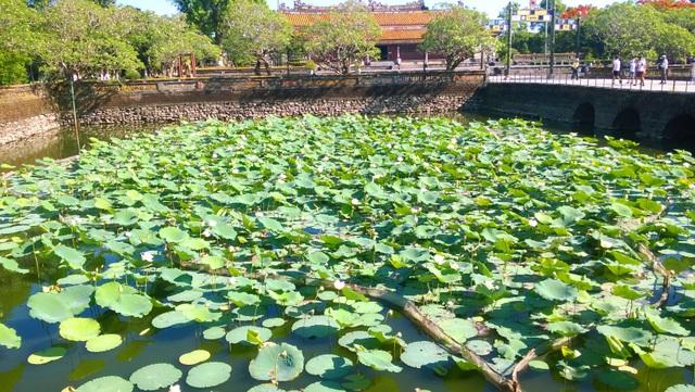 Sen trắng được trồng tạo cảnh quan đẹp ở hai bên hồ Thái Dịch trên đường dẫn vào điện Thái Hòa, Đại Nội