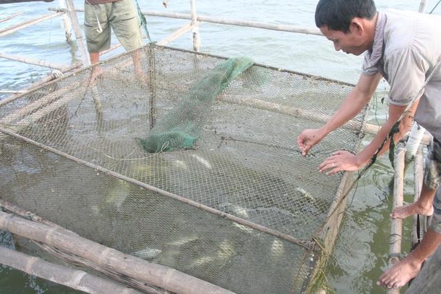 Cá lồng chết nổi trắng lồng tại xã Vinh Hiền, huyện Phú Lộc, tỉnh Thừa Thiên Huế