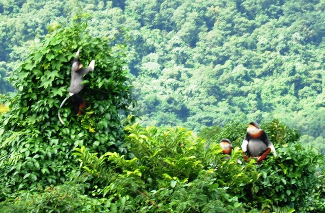 1 trong 3 đàn voọc chà vá chân nâu quý hiếm tại rừng phòng hộ Bắc Hải Vân vừa được tìm thấy (ảnh: Văn Nhân)