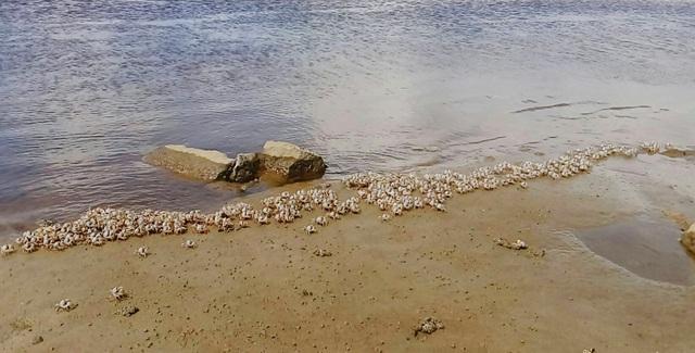 Hàng vạn con còng đá tím di cư trên bãi biển - 1