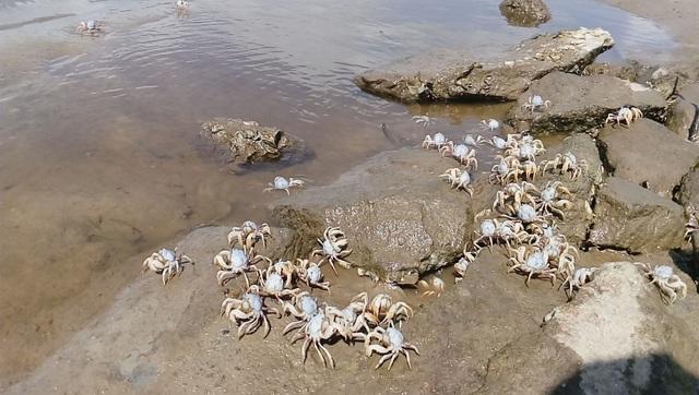 Hàng chục nghìn con còng đá xuất hiện trên bãi biển Phú Lộc, Thừa Thiên Huế
