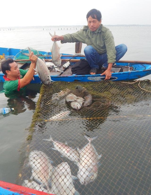 Cá nuôi lồng tiếp tục chết ở huyện Phú Lộc với hơn 7 tấn đầu tháng 12 này (ảnh: H.T)