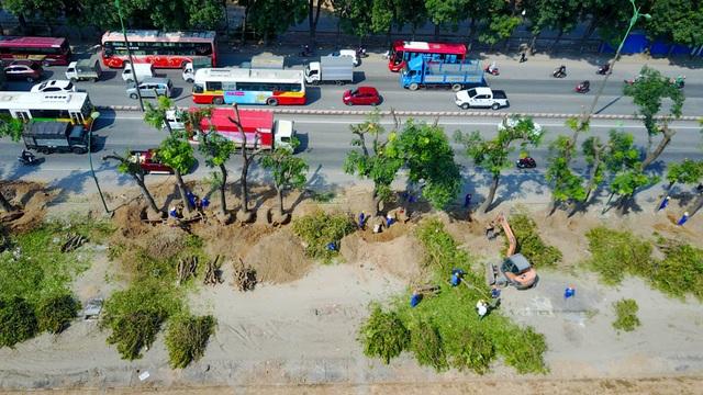 Sau nửa tháng tiến hành, đến nay đã có gần 200 cây được xử lý.