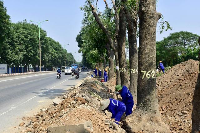 Cây được đánh số để khảo sát tình trạng trước khi quyết định chặt hạ hay đánh chuyển. Trong số gần 200 cây đã xử lý, thực tế số cây sâu mục, cong nghiêng chiếm tới hơn 50%, phải chặt hạ.