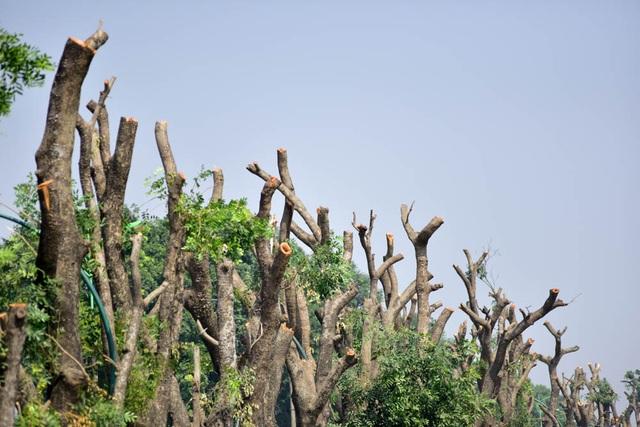 Cận cảnh hàng cây xà cừ sau khi bị chặt cành để chờ đánh chuyển.
