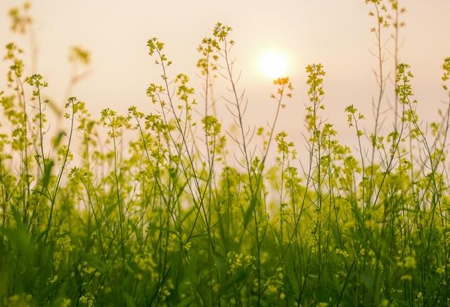 Những bông cải vàng rung rinh trong gió chiều hanh hao.