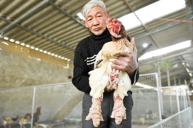 """Hiện ông Vết cùng gia đình vẫn vẫn nuôi và đang giữ nhiều con gà có gen quý hiếm như con gà mái Đông Tảo chân vảy rồng này. Ông chia sẻ: """"Tôi còn sức khỏe thì tôi còn nuôi, đến khi nào không còn sức khỏe nữa thì tôi để lại cho gia đình, con cháu nuôi""""."""