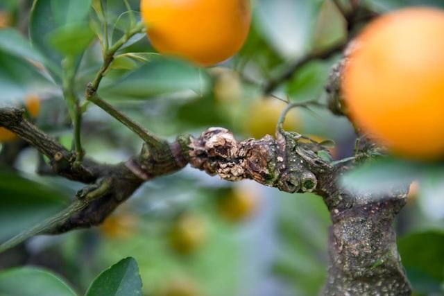 Việc ghép quất với cây cần thăng được chủ vườn giải thích mang ý nghĩa cần cù và thăng tiến.