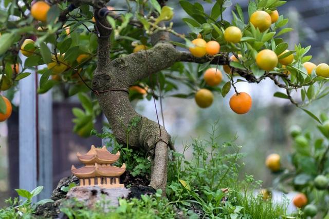 Phải chăm sóc nhiều năm mới có thể tạo ra một cây quất độc lạ với các dáng như song thụ, trực hoành, quần thụ... , ông Xuân chia sẻ.