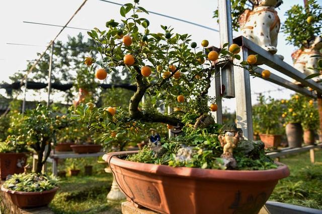 Chủ vườn cho biết, giá cho thuê quất ghép cần thăng đẹp khoảng 5 - 6 triệu đồng/cây. Giá bán đứt khoảng 8 - 11 triệu đồng/cây, có những cây đặc biệt giá có thể lên tới hàng chục triệu đồng.