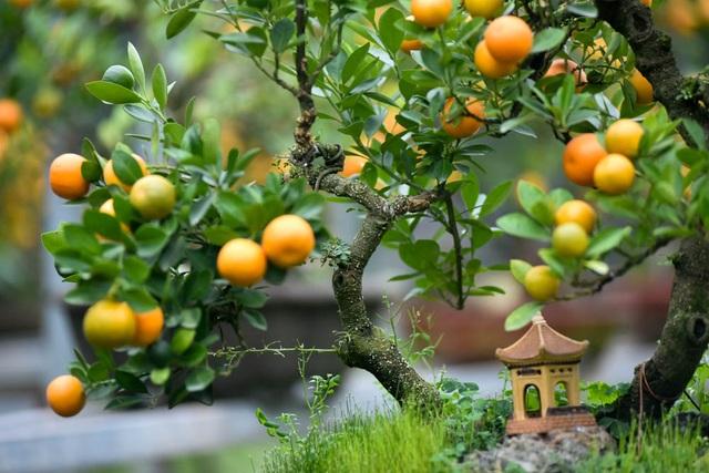Ông Xuân chia sẻ, phải mất hơn 3 năm mới có thể tạo ra một sản phẩm quất ghép thân cần thăng đầy đủ hoa quả và hình dáng độc đáo. Khi làm, phải chấp nhận tỉ lệ cây hỏng với nhiều lý do khác nhau.