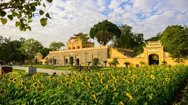 Vườn hướng dương (còn gọi là hoa mặt trời) rộng khoảng 2.000m2 đang nở hoa khoe sắc giữa khuôn viên khu di tích Hoàng thành Thăng Long.