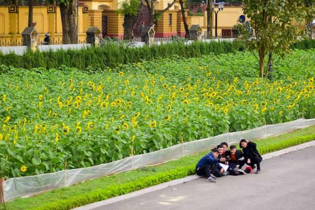 """""""Vườn hoa hướng dương bắt đầu được trồng cách đây khoảng 60 ngày nhằm tạo dựng môi trường, cảnh quan tôn vinh giá trị lịch sử của di sản"""", bà Nguyễn Thị Yến (Trưởng phòng hướng dẫn và thuyết minh - Trung tâm Bảo tồn di sản Thăng Long) chia sẻ."""
