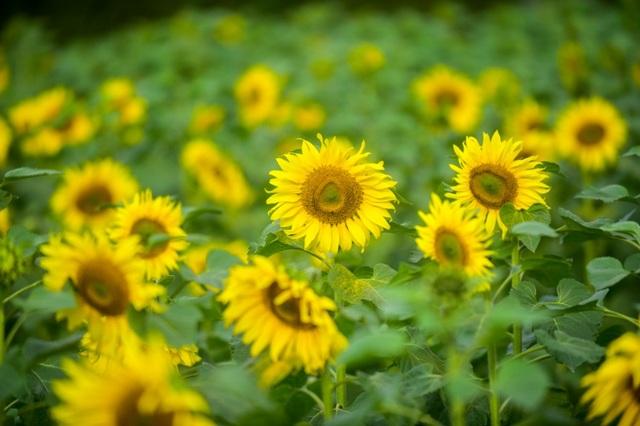 Ngoài ra, việc trồng hoa hướng dương tại khu di tích sẽ góp phần tạo điểm nhấn, thu hút du khách nhân dịp cuối năm. Tại Hoàng Thành, du khách sẽ được thưởng lãm những buổi trưng bày, bên cạnh không gian tự nhiên tươi mới với những loại hoa được trồng theo mùa.