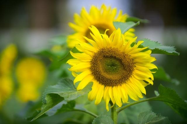 Thời gian của mùa hoa thường chỉ kéo dài 15-20 ngày, nhưng theo nhiều cán bộ tại đây, hoa hướng dương tại Hoàng thành Thăng Long sẽ kéo dài tới tận Tết Âm lịch Mậu Tuất để phục vụ nhu cầu du xuân của người dân.