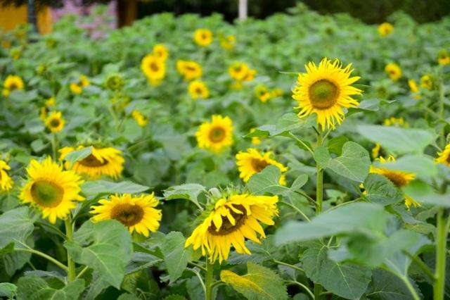 Ban Quản lý khu di tích Hoàng thành Thăng Long thông tin, ngoài trồng hoa hướng dương, Ban Quản lý đã có kế hoạch trồng các loài hoa đặc trưng theo mùa tại khuôn viên di tích.