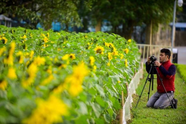 Thỏa thích chụp ảnh cánh đồng hoa mặt trời giữa Hoàng thành Thăng Long - 9